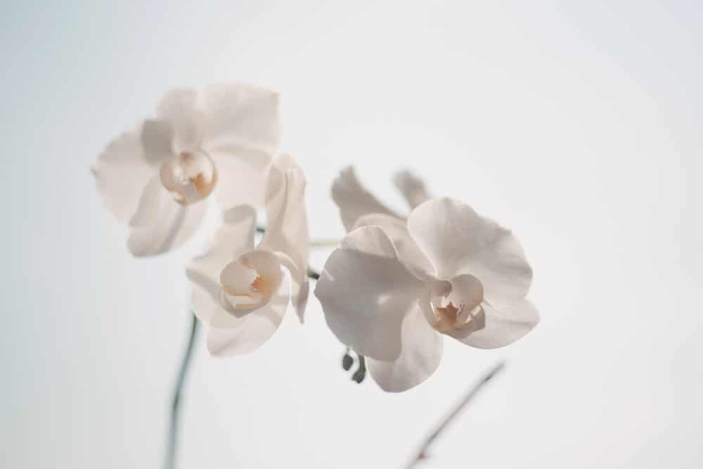 fleurs blanches, symbole du blanchiment dentaire