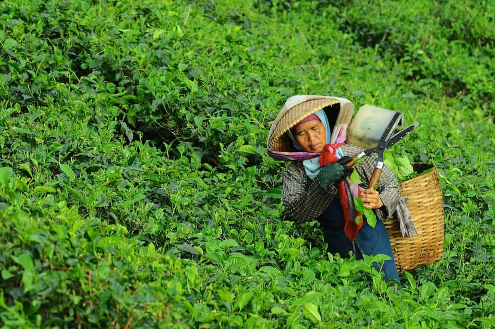 femme asiatique qui récolte des plantes