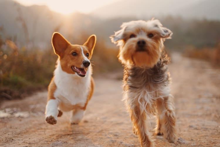 chiens qui courent